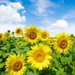 Sunflowers field — Stock Photo #7793536
