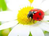 Uğur böceği — Stok fotoğraf