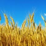 Wheat on sky — Stock Photo #7906863