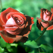 Rose Garden — Stock Photo #7398565