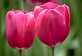 Two tulips — Stock Photo