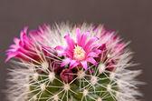 Blommande kaktus — Stockfoto