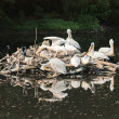 Pelicans — Stock Photo #7464077