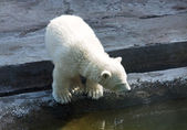 Little polar bear — Foto de Stock