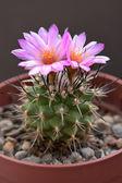 Cactus flowers — 图库照片