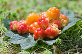 Cloud berries on a bog close up in summer — Stock Photo