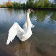 White swan at lake blue water — Stock Photo #7076267