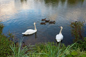 White swans and ducks on the pond — Stock Photo