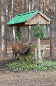 Sika deer in zoo — Stock Photo