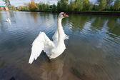 White swan at lake blue water — Stock Photo