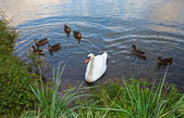 White swan and ducks on the pond — Stock Photo