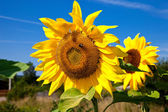 Beautiful sunflowers in the field against blue sky — Stock Photo