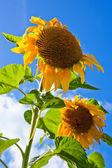 Krásné slunečnice v poli proti modré obloze — Stock fotografie