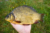 Large crucian in hand — Stock Photo