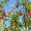 Apples on a branch — Stock fotografie