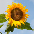 Sunflower on a field against blue sky — Stock Photo