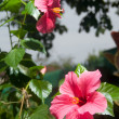 Pink and red Hibiscus flowers - Stock Photo