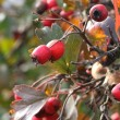 Red berries on the tree - Stock Photo