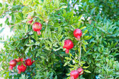 Image with red berrys — Stock Photo