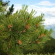 Branch of cedar in siberia — Stock Photo
