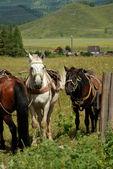 Altay atlar malların taşınması için — Stok fotoğraf