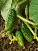 Growing cucumbers — Stock Photo