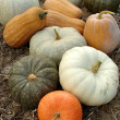 Pumpkins harvest — Stockfoto