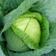 Growing cabbage — Stock Photo