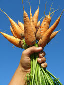 рука с морковью — Стоковое фото