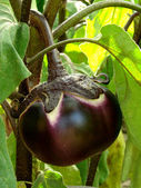 Fruit aubergine — Photo