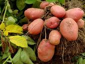 Potato tubers — Foto de Stock