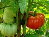 Pomodori giganti — Foto Stock