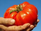 Rode reus tomaat — Stockfoto