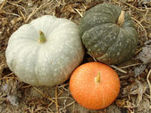 Three colorful pumpkins — Stock Photo