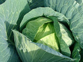 Sunny cabbage — Stock Photo