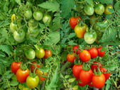Four stages of tomatoes ripening — Stock Photo
