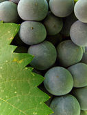 Grape cluster with leaf — Stock Photo