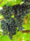 Sunny grape clusters — Stock Photo