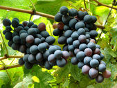 Ripening grape clusters — Stock Photo