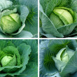 Cabbages set — Stock Photo