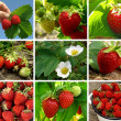 Strawberries collection — Stock Photo #7096456