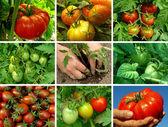 Tomatoes set — Stock Photo