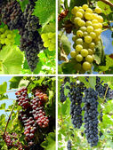 Grapes collage — Stock Photo