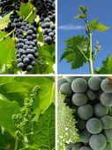 Виноградный коллаж — Стоковое фото