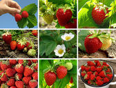 Strawberries collection — Stock Photo