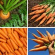 Organic carrots collage — Stock Photo