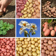 Potatoes collection — Stock Photo #7186611