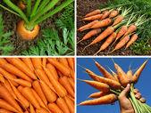 Organic carrots collage — Stock Photo