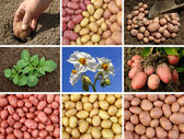 Potatoes collection — Stock Photo