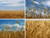 Wheat set — Stock Photo